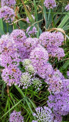 Allium angulosum (mouse garlic)