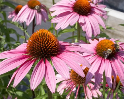 Echinacea Purpurea (MAGNUS) photo from:centredejardinbrossard.com